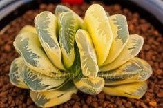 "Haworthia truncata hybrid ""SEIKO(Reverse variegate)""-B1981 (Rare !!) -Succulent-"