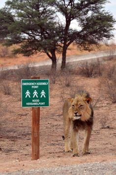 Freaky fun wildlife, as long as you are not the ones sent to stand at the assembly point, is this what you could call a drive in fast food joint for lions?So funny to see this lion hanging out at this signpost. African Animals, African Safari, Kruger National Park, National Parks, South African Flag, South Afrika, Out Of Africa, Big Cats, Thing 1