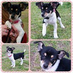 Sanford, NC - Chihuahua Mix. Meet Reese Pieces, a dog for adoption. http://www.adoptapet.com/pet/12724462-sanford-north-carolina-chihuahua-mix