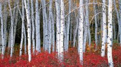 Birch Tree Wallpapers Free Download.