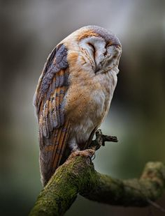 Sleeping Barn Owl by Jean-Claude Sch.