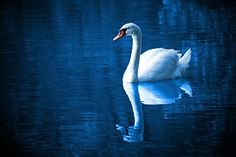 Swan On Lake Free Stock Photo - Public Domain Pictures Photos Free, Free Pictures, Free Images, Blog Images, Bird Pictures, Beautiful Swan, Beautiful Birds, Pretty Birds, Couple Manga