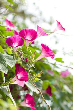 """Asagao (Morning Glory) In floral language it has the meaning of """"Brief love"""" and """"Bond of love""""."""