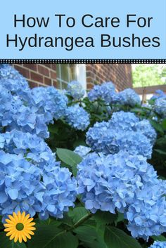 Urban Garden Learn how to care for Hydrangea bushes and enjoy lots fo beautiful hydrangea blooms. - Learn how to care for Hydrangea plants. Here are tips for trimming, watering and fertilizing your hydrangea bushes for gorgeous summer blooms. Hydrangea Bush, Hydrangea Care, Hydrangea Not Blooming, Blue Hydrangea, Hydrangea Plant, Garden Shrubs, Shade Garden, Garden Landscaping, Landscaping Ideas