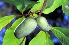America's Forgotten Fruit Tree: The Appalachian Banana a.k.a. The Paw Paw
