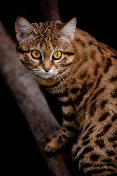 African Black Footed Cat by David Orias