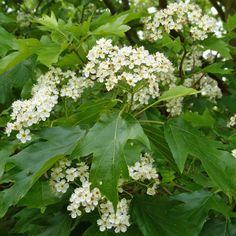 Die Elsbeere wartet mit hübschen weißen Blüten auf Herbal Plants, Hampstead Heath, Botany, Trees To Plant, Herbalism, Fruit, Health, How To Make, Root System