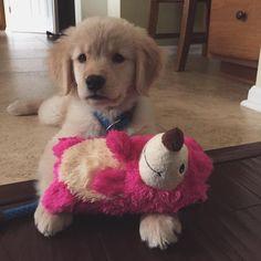 Abby ~ Golden Retriever Pup ~ Classic Look