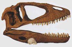 Crâne de Carcharodontosaurus saharicus