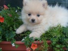 pomeranian puppies for sale in georgia | Zoe Fans Blog