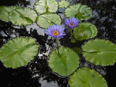 Blue tropical waterlily