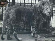 leopon