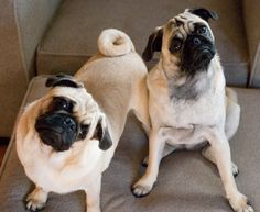 These pugs don't understand where all the snackies have gone.