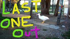 Muscovy Ducks Like Herding Rocks #17 Raising Ducks For Charity