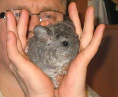 #baby #chinchilla