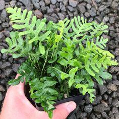 Evergreen Ferns, Organic Soil, Hens And Chicks, Shade Plants, Plant Care, Perennials, Grass, Herbs, Perennial
