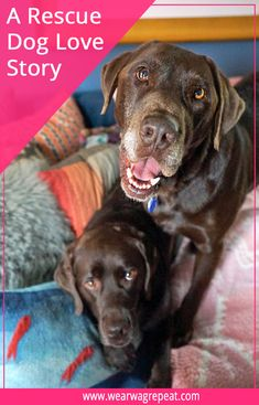 """Labrador retrievers, or """"Labs"""" as they've become fondly known, are one of the most popular dog breeds of our time. Silver Labrador Retriever, Retriever Puppies, Labrador Retrievers, Cute Puppies, Cute Dogs, Labrador Chocolate, Adoption Stories, Dog Stories, News Stories"""