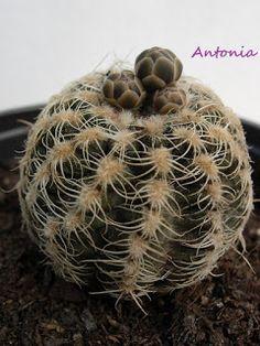 ●  Gymnocalycium bruchii (Speg.) Hosseus          ·  Nombres comunes:  desconocidos   ·  Sinónimos más frecuentes:  Echinocactus lafalden...