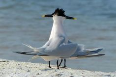 Sandwich Terns. How many do you see?   (Photo by Cuneyt Yilmaz)