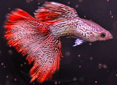 1 Pair Super Red Lace Fancy Guppy
