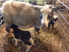 Mother and newborn. Goats, Animals, Animales, Animaux, Goat, Animal, Animais