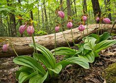 pink lady's-slipper orchid: photo by William Britten Woodland Flowers, Woodland Garden, Shade Garden, Garden Plants, My Flower, Flower Art, Pink Lady Slipper, Native Plants, Dream Garden