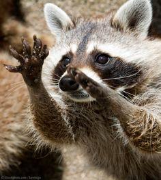 Ooh Ohh, pick me! #cuteanimals #raccoon