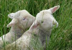 lambs   And here are the #93 X-bred twin ewe lambs resting .....