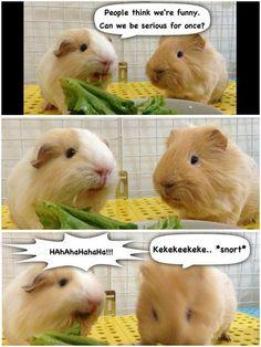 funny Guinea Pig FB