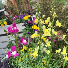 Loving this Linaria Fairy Bouquet Blend from Botanical Interests