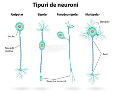 The nervous system is involved in some way in nearly every body function. All the sensations actions and emotions are made possible by the nervous system which consists of the brain spinal cord nerves and sensory receptors. Nervous System Anatomy, Human Nervous System, Peripheral Nervous System, Central Nervous System, Nervous System Diagram, Human Body Anatomy, Human Anatomy And Physiology, Types Of Neurons, Medical Coding
