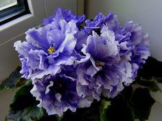 ЕК-Синеглазый король Огромные махровые пышные васильково-синие цветы с тёмно-сапфировыми ручейками фэнтези и с белыми кончиками лепестков. Идеальная выставочная розетка из тёмно-зелёных листьев.