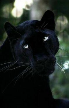 "Poster 19/"" x 13/"" Fury Black Cat Eyes"
