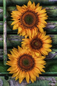 Sunflowers.......