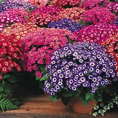 Cineraria Shade Plants. Please also visit www.JustForYouPropheticArt.com for colorful, inspirational art and stories and like my Facebook Art Page at www.facebook.com/Propheticartjustforyou Thank you so much! Blessings!