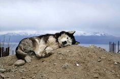 sleepy malamute