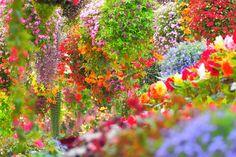 古代インカ帝国で「女王の耳飾り」と呼ばれたアンデスの名花、フクシアの栽培ゾーンでは、色とりどりのフクシアが競うように咲き誇っています。緑の葉、色鮮やかな花びら、気品あふれるフクシアの姿が融和し、フクシアの栽培ゾーンでは花の楽園に迷い込んだような気分を味わうことができます。