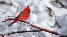 Cardinal ... Virginia's State Bird