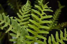 POLYPODIUM VULGARE 'IMBRICATUM'  from Secret Garden Growers