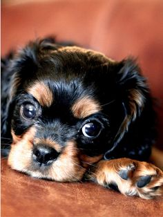 cavalier king charles spaniel.  Did I do something wrong? How could you ever be upset with this cute face.