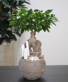 Arrangement 'White Beach'  You can create this beautiful natural arrangement! The plant of this 'White Beach' arrangement is a superb Ficus microcarpa cultivated as a bonsai for indoors. Evergreen, highly ornamental for your living room. It demands very little care, just water when it's thirsty, i.e. when the compost feels slightly dry. In summer you can place this plant on your patio. The ficus accompanying accessories of this do-it-yourself arrangement are supplied separately.