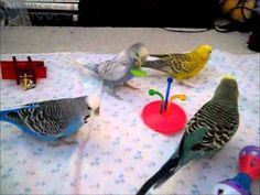 ▶ Budgies playing with some new toys - YouTube
