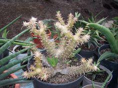 Pachypodium rosulatum var horombense