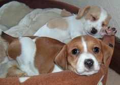 jack russell + beagle = jackabee! i want a wittle puppy