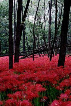 Red carpet - Cluster Amaryllis, Hidaka, Saitama, Japan