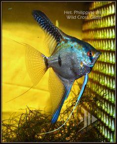Brazillian Wild Blue Glitter Angelfish