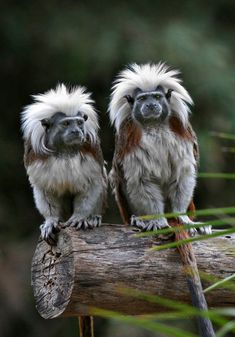 creepicrawlies: Cotton-top Tamarins (Saguinus oedipus) (via acidcow)  unfortunate taxonomy cuz