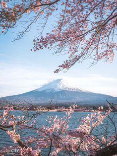 Mount Fuji from Lake Kawaguchi in Kawaguchiko while Cherry Blossom Season / Sakura Cherry Blossom Pictures, Cherry Blossom Wallpaper, Cherry Blossom Japan, Japanese Cherry Blossoms, Japanese Blossom, Osaka, Fuji Mountain, Japan Sakura, Mont Fuji