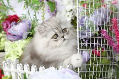 Gemstone - Click Here - Ultra Rare Persian Kittens For Sale - (660) 292-2222 - Located in Northern Missouri (Shipping Available)Ultra Rare Persian Kittens For Sale – (660) 292-2222 – Located in Northern Missouri (Shipping Available)