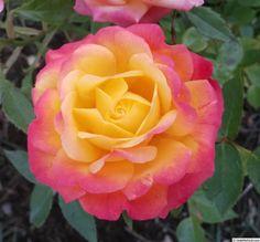 'Rainbow Sunblaze ' Rose Photo